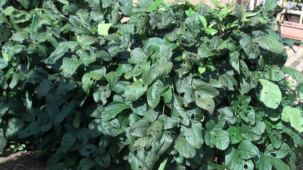 味噌作りに、と思って植えた大豆ですが・・・・ちょっと成長しすぎたみたいっ!