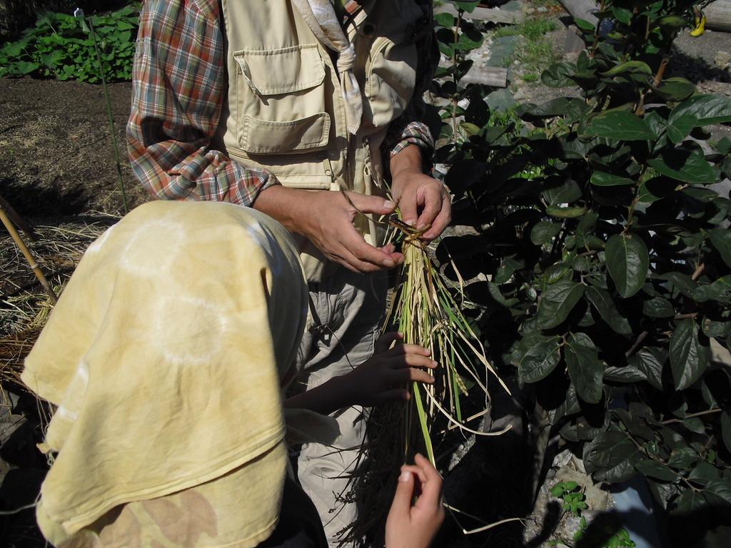刈った稲を縛ります。