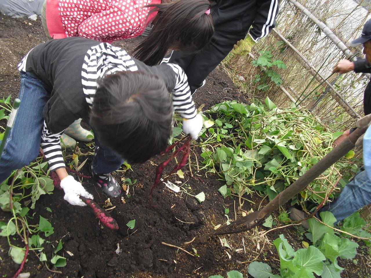 まずはお芋を掘りまーす!