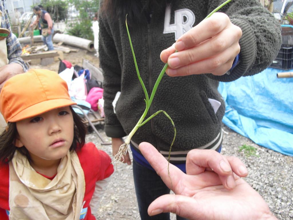 これは玉ねぎの苗。小さいですね~
