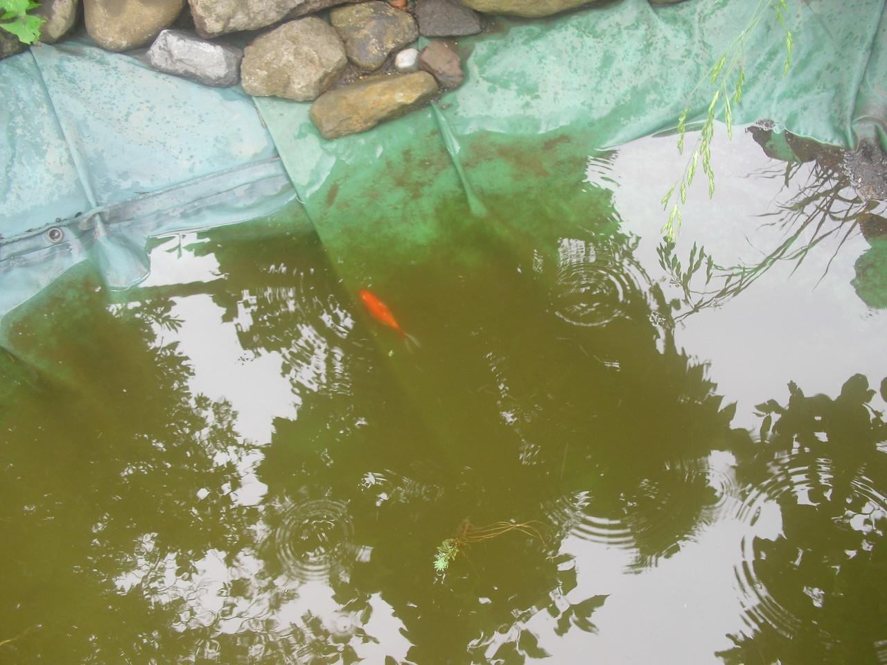 なぜかふじっころの前の川に金魚が泳いでいました。こどもが見つけてふじっころの池に。