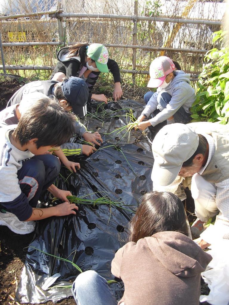 穴のところに玉ねぎの苗を植えていきます。