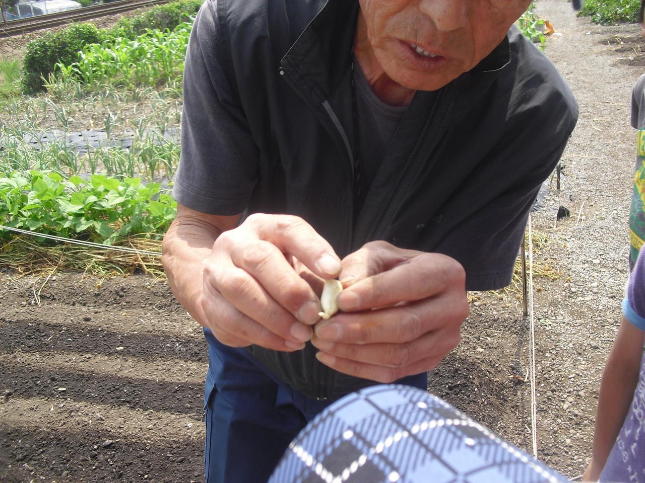お宮さんの畑では、藍の植え替え以外にも落花生を植えました。