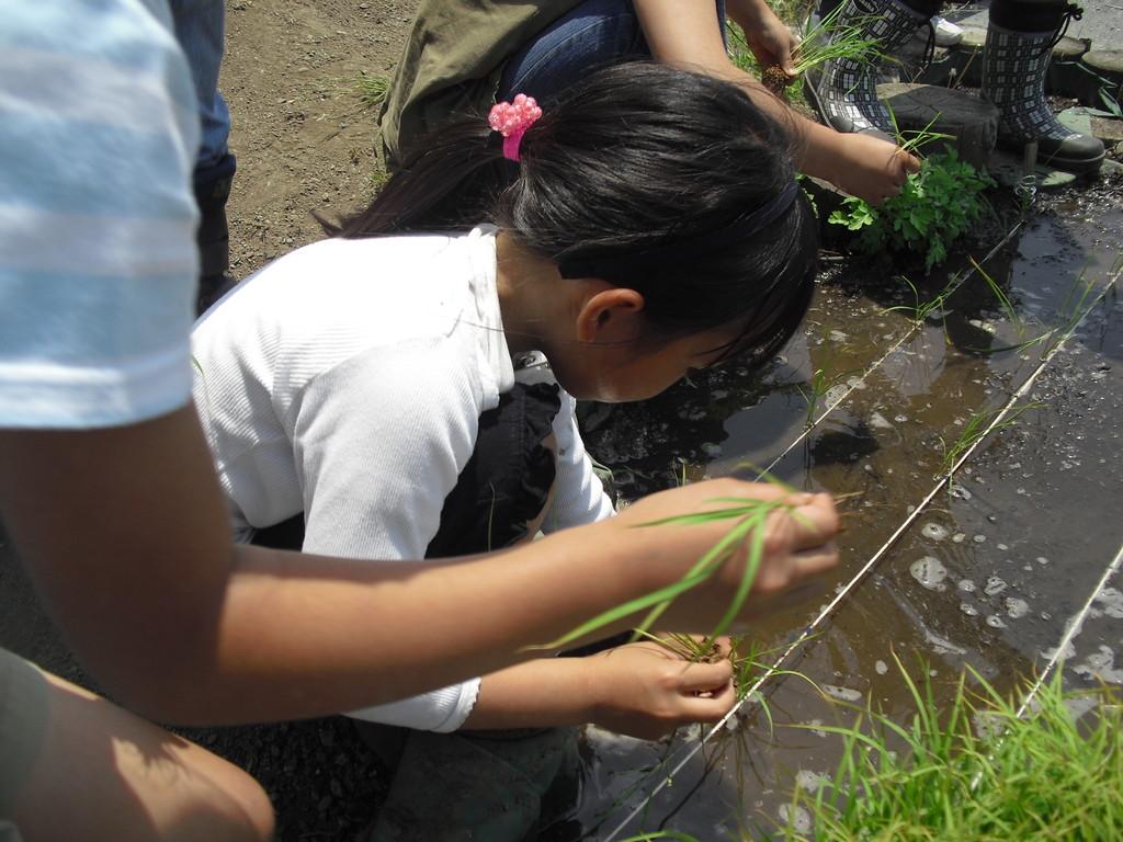3本ずつ苗を取って指の第一関節が埋まるぐらいまでぎゅと植えていきます。