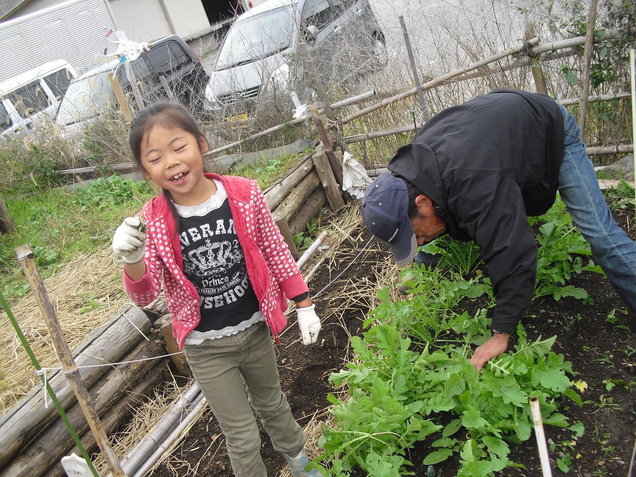 大根の苗を間引きします。