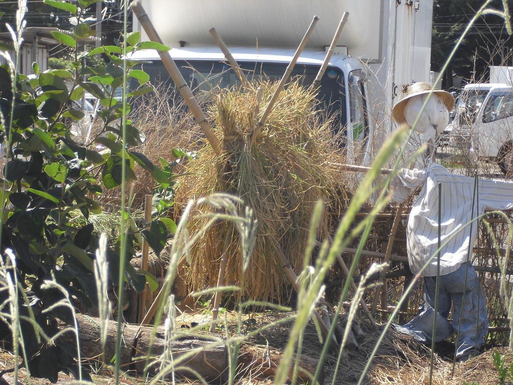 縛った稲は干します。
