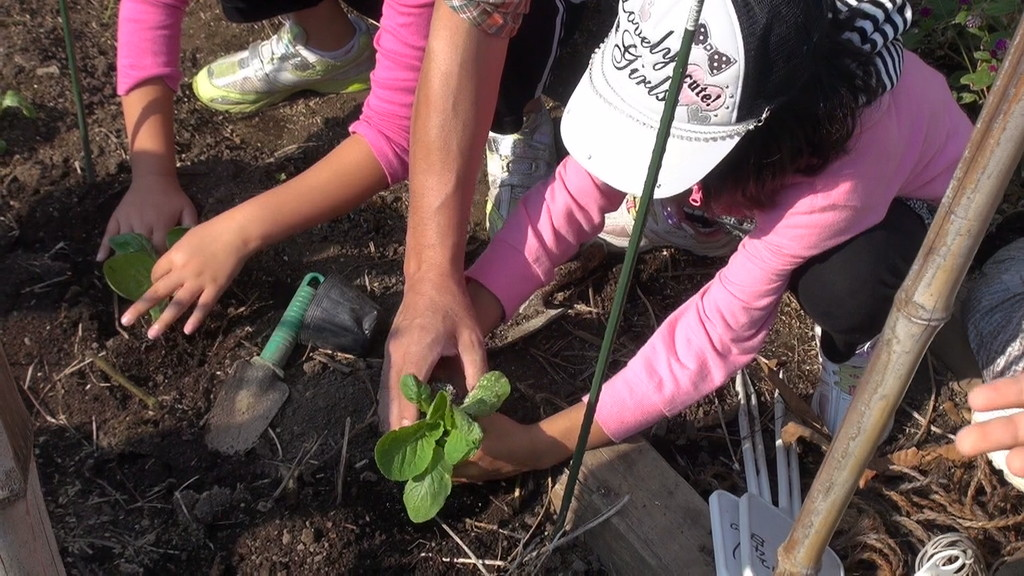 今回は、白菜とブロッコリーの苗を植えました。