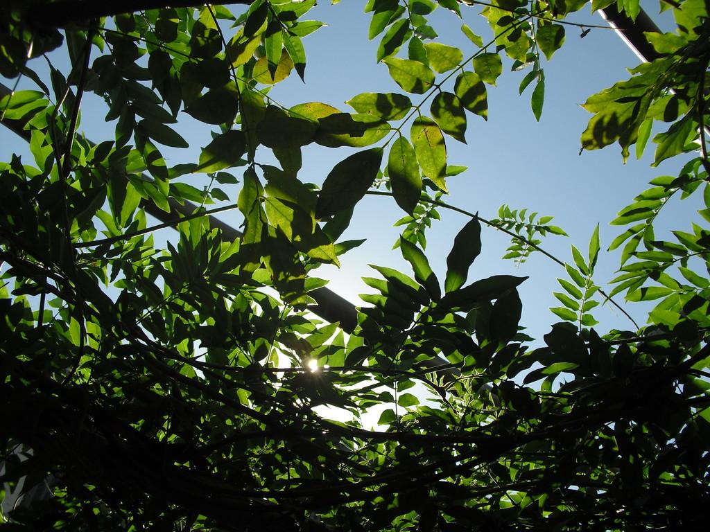 藤の緑がきれいな朝です。気持ちのいい秋晴れ!!