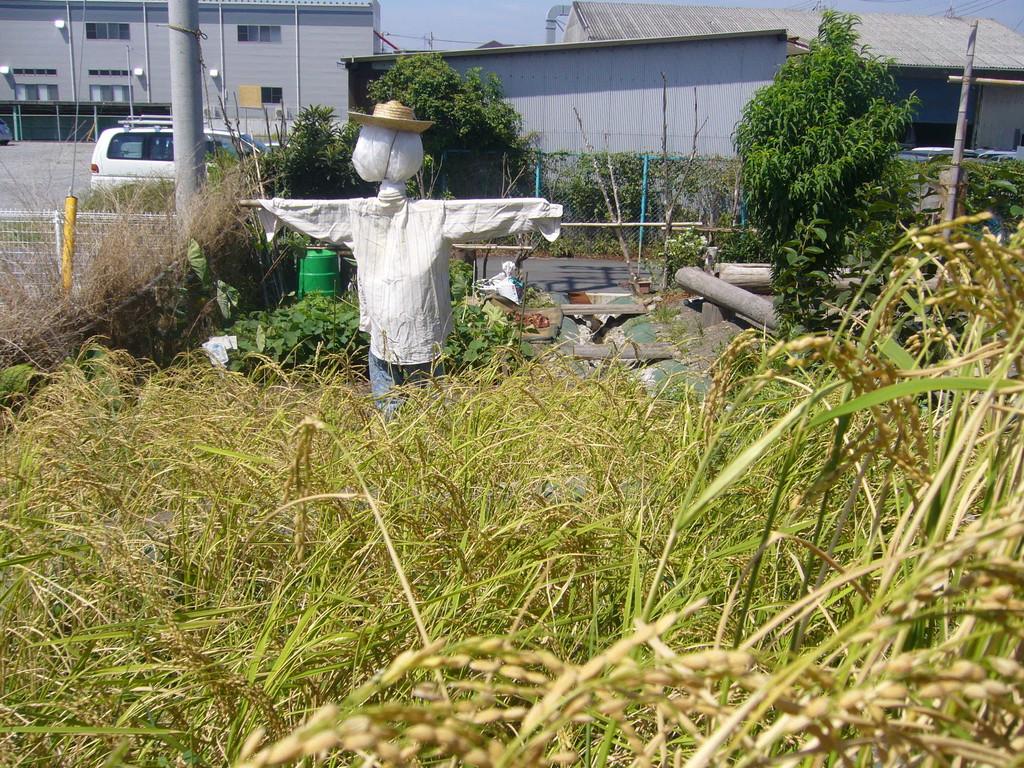 案山子さん、私たちの大切なお米を守ってね♪