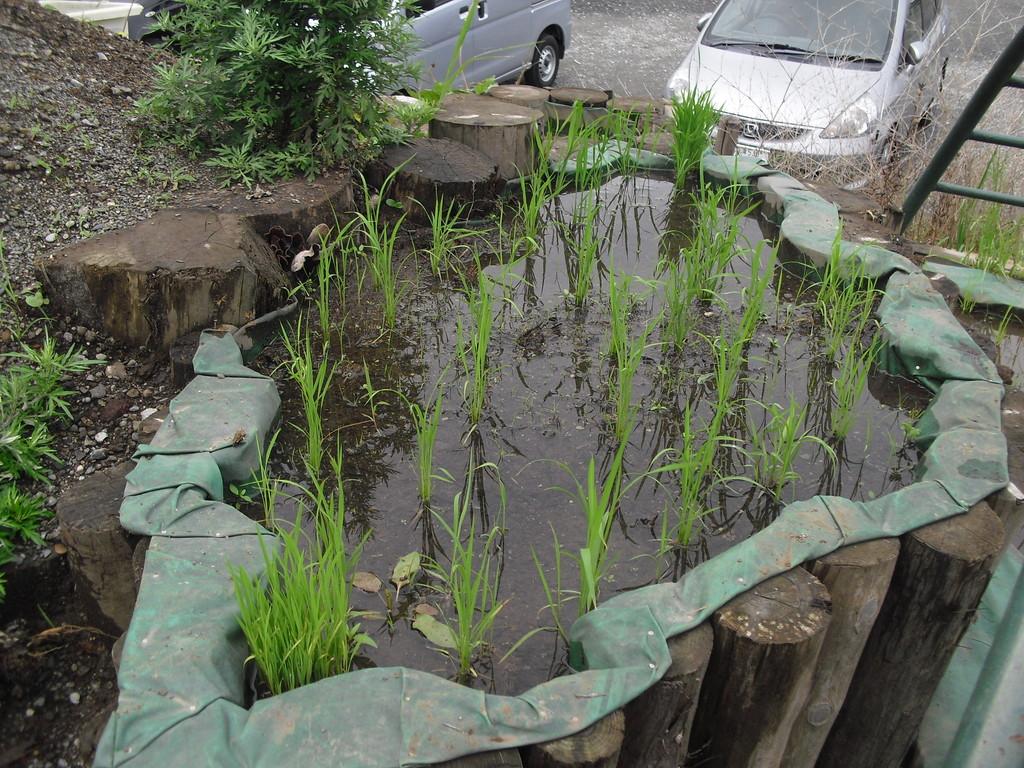 稲も育っております。