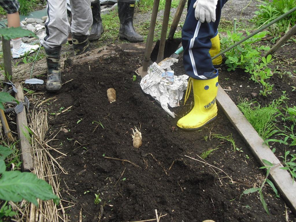 空いた畑のスペースに今度は山芋の種イモを植えました。