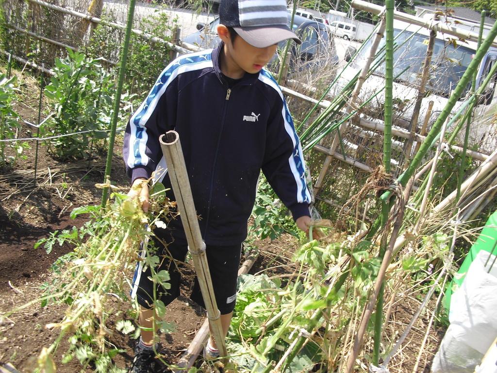 収穫後は、また違うものを植えるため、残念ですが絹さやは抜いてしまいます・・・