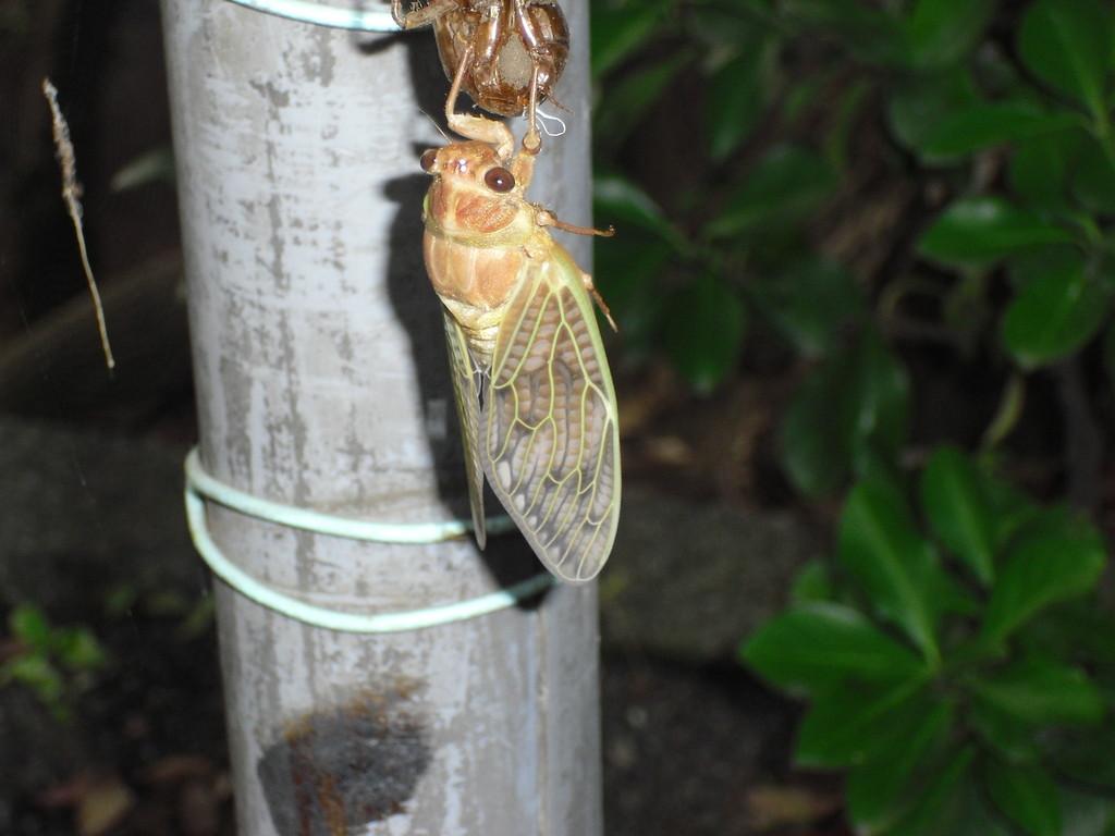 そう、みんなで羽化している蝉を暗闇の中で探します。羽化する前の蝉、ちょうどしている蝉、すでにし終えた蝉…いろいろ見つけました。騒ぐとストレスになってしまうので、みんなこそこそしながら見せてもらいました。みんなのリクエストに答え、夜のネイチャーげームも楽しみました。