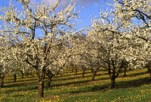 Lot-et-Garonne - Les vergers en fleurs
