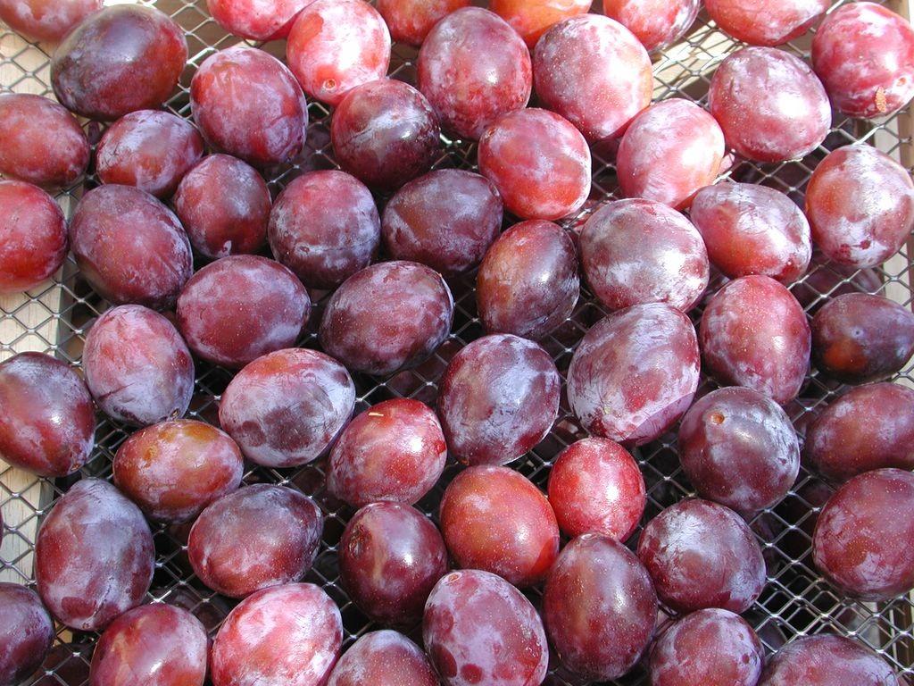 Lot-et-Garonne - Les prunes à pruneaux d'Agen