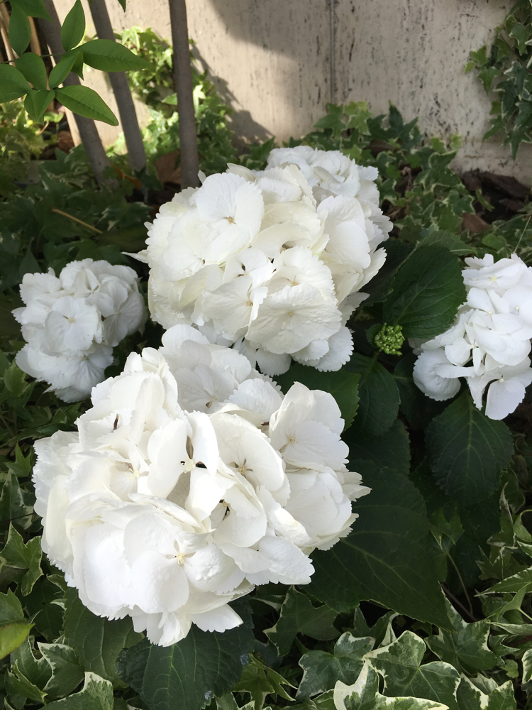 あじさい、紫陽花、ティアモ、白い紫陽花