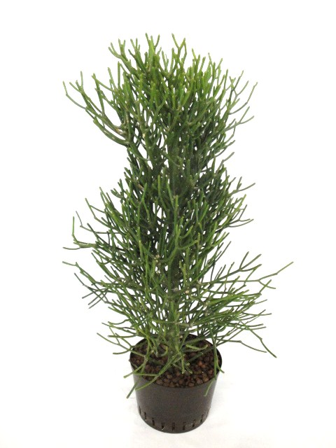 Euphorbia tirucalii