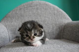 スコティッシュフォールド 子猫 ブリーダー 猫
