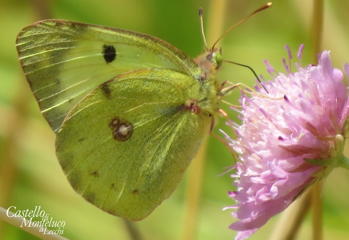 «Colias crocea» | The butterfly, but it could also be «Colias alfacariensis». (Axel Steinhardt 2019)