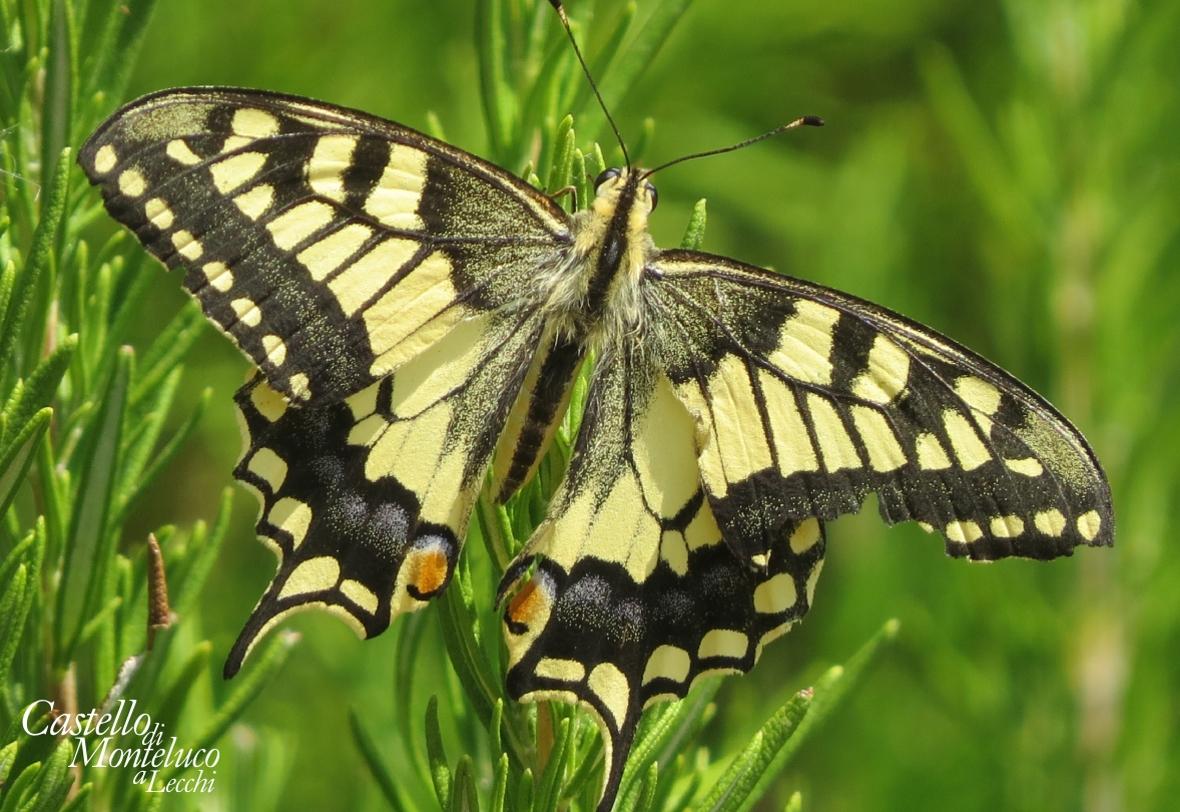 «Papilio machaon» | Il macaone. (Axel Steinhardt 2019)