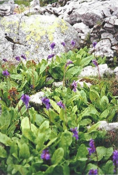 Die Wulfenia: Diese Blume blüht nur an zwei Orten dieser Welt, einer davon ist das Nassfeld