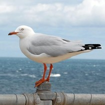 Adult Silver Gull