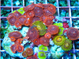 Pocilipora sp multicolor