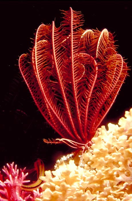 sea lilies red