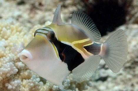 Rhinecantus rectangulatus