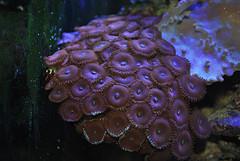 Zoanthus sp rojo