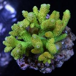 Acropora sp supercolor cultivo
