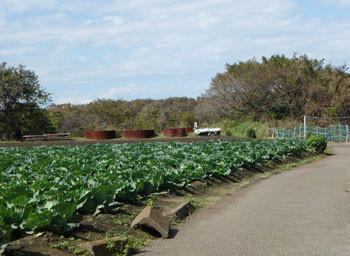 藤沢市・石川のキャベツ畑