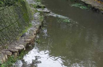 横浜上大岡・大岡川のアオサギ