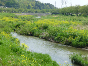 藤沢市・カラシナが咲く引地川親水公園