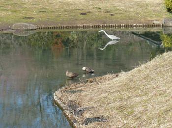 藤沢・新林公園の池と水鳥