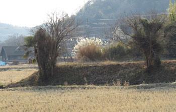 藤沢・引地川親水公園界わいの田んぼと畑