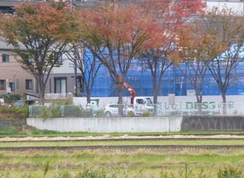 藤沢・県道43号のケヤキ並木