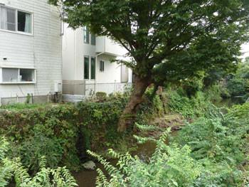 鎌倉・滑川の大きな樹