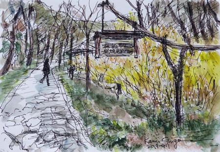 横浜・四季の森公園のレンギョウ