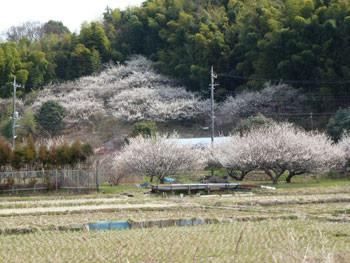 藤沢市・引地川親水公園付近の梅林