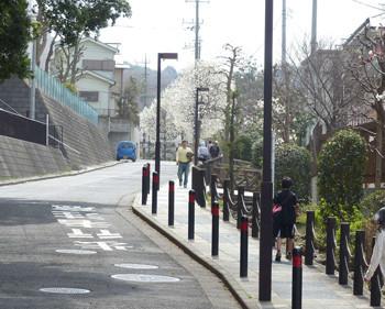 横浜・コブシ咲く四季の森公園のプロムナード