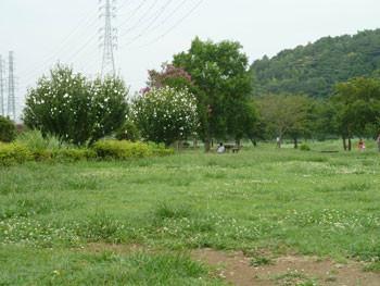 神奈川県藤沢市・引地川親水公園のムクゲ