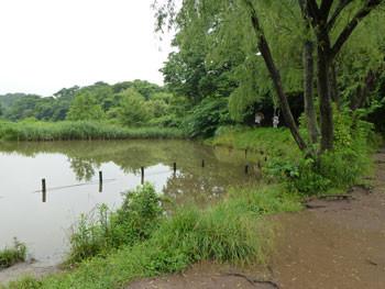 横浜市・舞岡公園のなみ池の柳