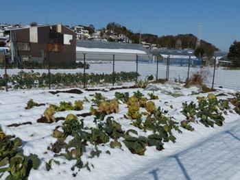 藤沢・雪の日のキャベツ畑