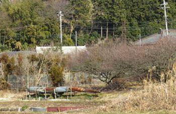 藤沢市・引地川親水公園界わいの畑と梅の木
