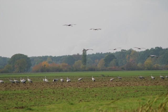 Kraniche in Walddorf