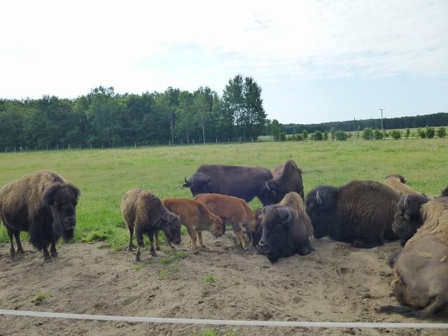 Bisongehege an der Vorest Village Ranch in Walddorf