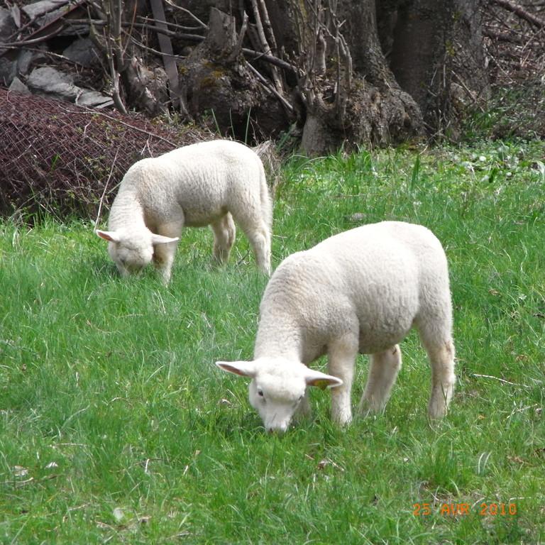 agneaux dans la prairie