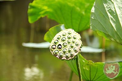 Lotusblüte Mauritius