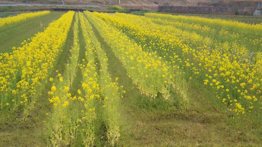 田んぼに咲く菜の花